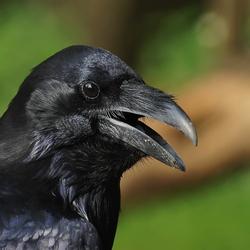 zwarte raaf