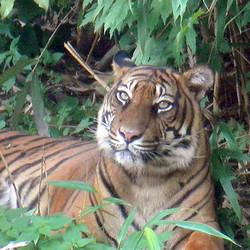 tijger in de dierentuin