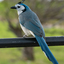White throated blue Magpie Jay (2)