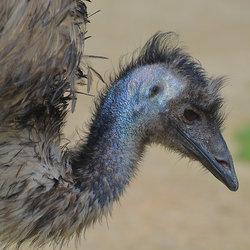Emoe (Dromaius Novaehollandiae)