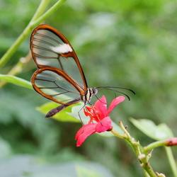 Doorzichtige Vlinder.