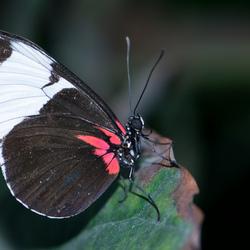 vlinder (4)