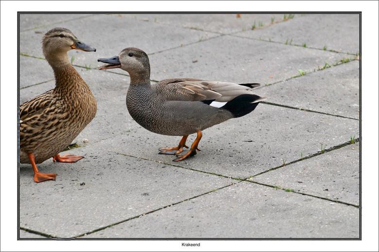 Luisteren - Ik ben nu helemaal klaar met je ........dus opzouten.<br /> <br /> De Krakeend is in Laag-Nederland een wijd verbreide broedvogel van mo