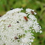insekte kermis
