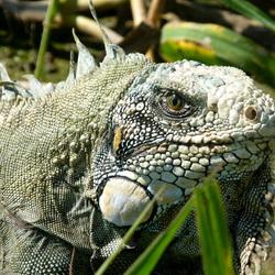 Relaxing iguana in the Peruvian Amazon