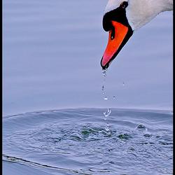lovely swan..