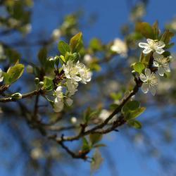 bloesem pruimenboom