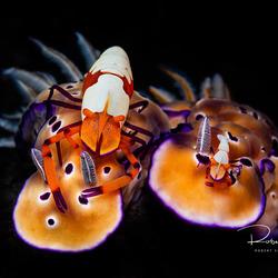 Emperor shrimp op nudibranchs