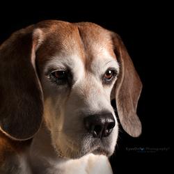 Beagle look!