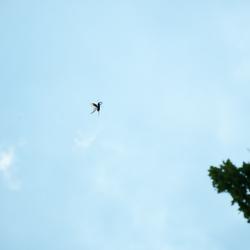 Vliegend vliegend hert.