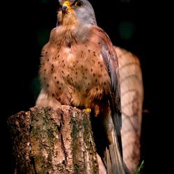 Zwijgende vogel
