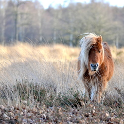 Wilde pony