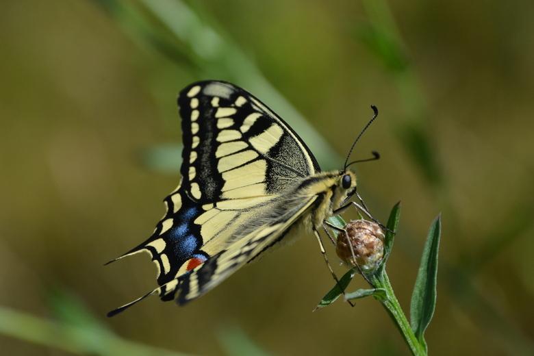 Koninginnenpage - Ze zijn zeldzaam en als je ze zou tegenkomen dan is het moeilijk om ze te fotograferen. Ze vliegen vrij snel vandoor.
