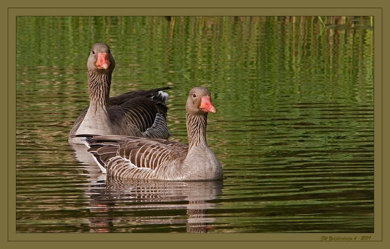Anser anser - De grauwe gans (Anser anser) is de in Nederland meest voorkomende grijze gans. De ganzen zijn soorten uit de familie der Anatidea. Tijde