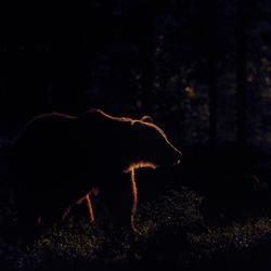 Bear in backlight