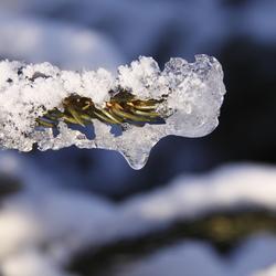 bevroren dennentak