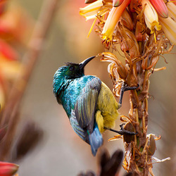 Palestine Sunbird honingzuiger