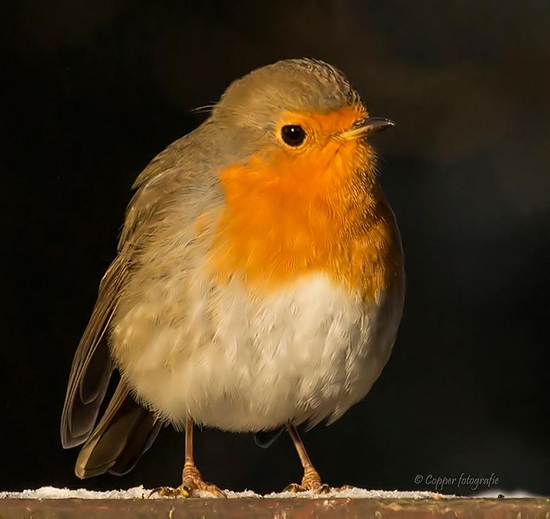 Roodborstje - Kijkt hier zo rustig om zich heen, terwijl dit normaal gesproken een heel druk vogeltje is.<br /> <br /> Laatste update 2 april 2013: