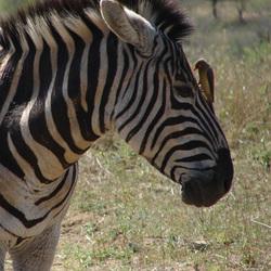 Zebra met ossenpikker