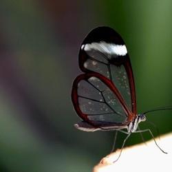 Greta Oto vlinder