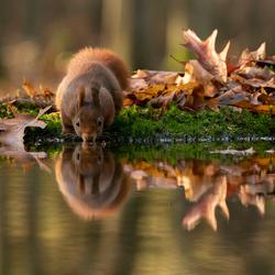 eekhoorn weerspiegeld
