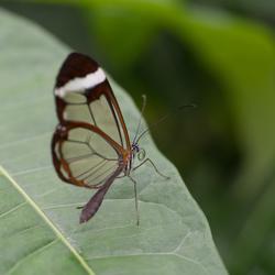 glas vlinder