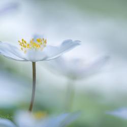 Miss anemone