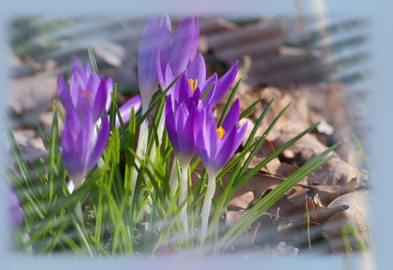 Voorjaar  - Een bewerking van een groepje krokussen