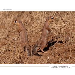 Ground Squirrels, Kenia