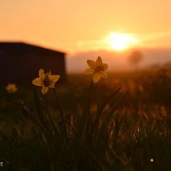 Narcissen tijdens de zonsondergang