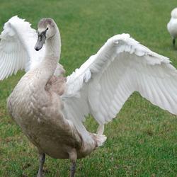 Jonge zwaan slaat vleugels uit