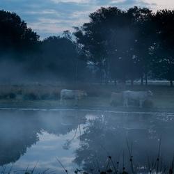 ven met koe in de ochtendnevel