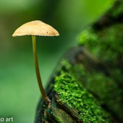 paddenstoel -12