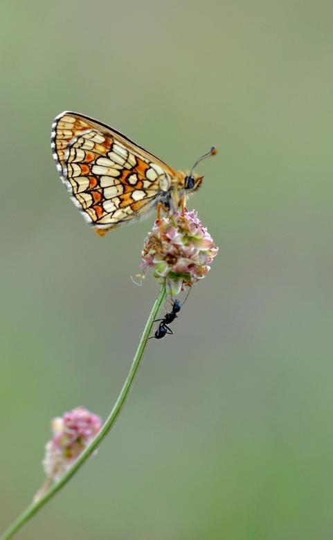 meeting - mier ontmoet vlinder