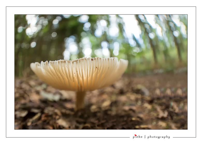 Transparant - Hierbij een foto van een doorzichtige paddenstoel. Ik heb hier weer de fish eye lens gebruikt om ook de leefomgeving van de paddenstoel