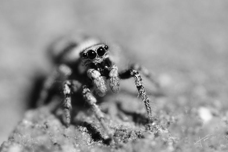 Zebraspin (springspinnetje) -