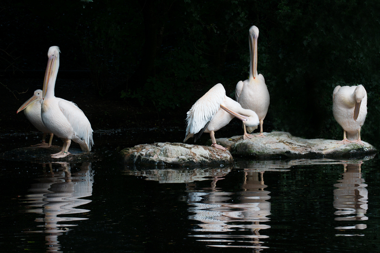 Familie pelikaan