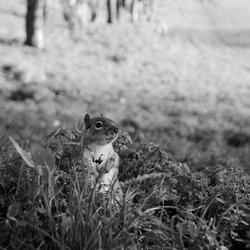 Grondeekhoorn - Londen