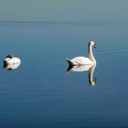 zwanen in het Veluwemeer