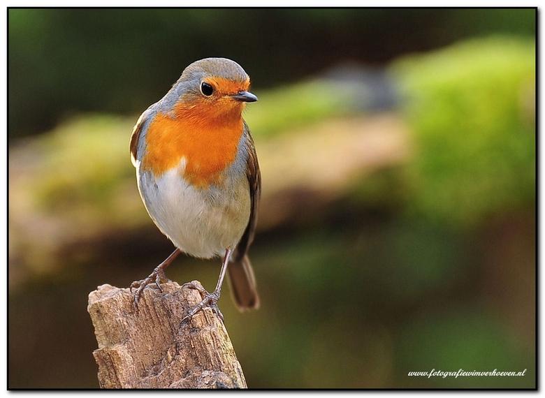 Roodborstje,Robin - .