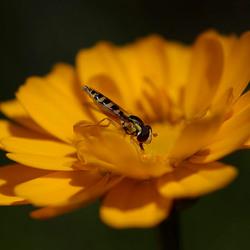 Klein zweefvliegje op een zonnebloemetje