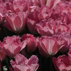 Vandaag Is Het Roze...