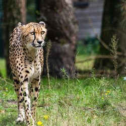 Walking Cheetah