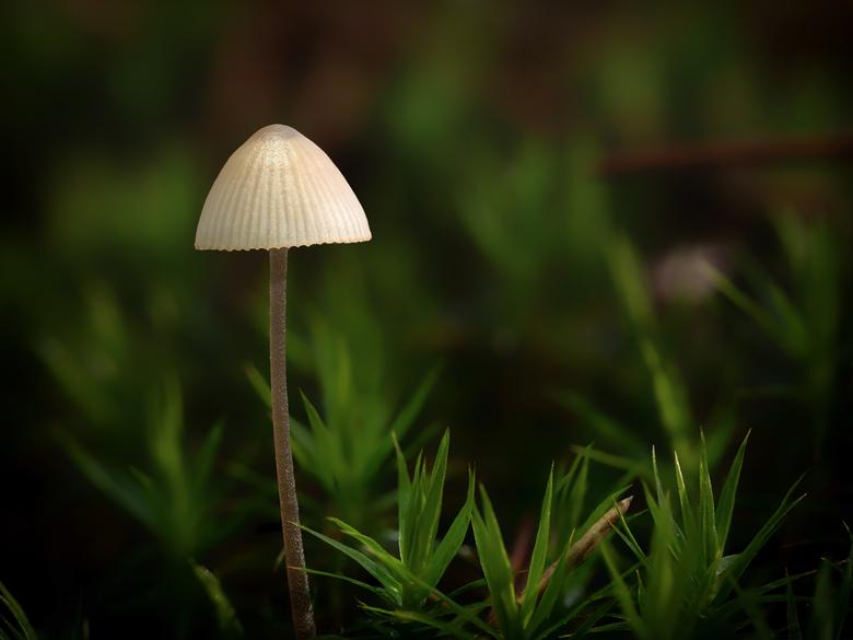 Mini paddenstoel  - Macro opname met focusstacking