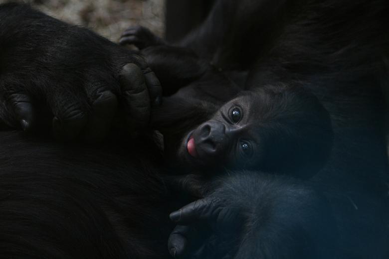 Baby gorilla - Een babygorilla, pas een paar dagen oud, in de armen van zijn moeder.