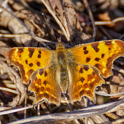 Eerste vlinder dit jaar gezien