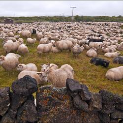IJsland: Schaapssortering II