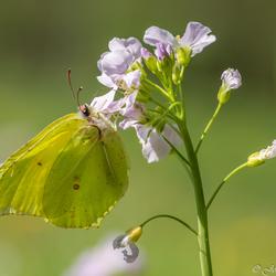 Citroenvlinder (Gonepteryx rhamni)_