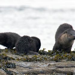Otter moeder met twee jongen