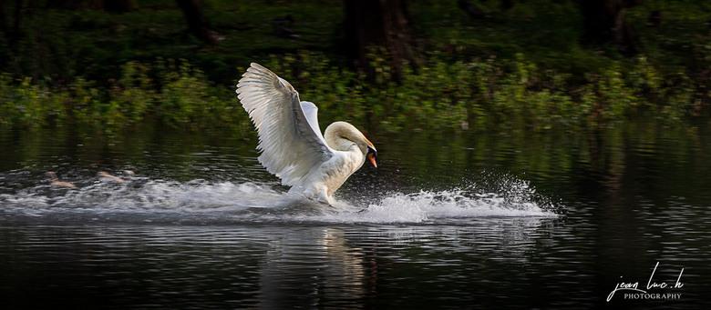 20190614 Swan landing -